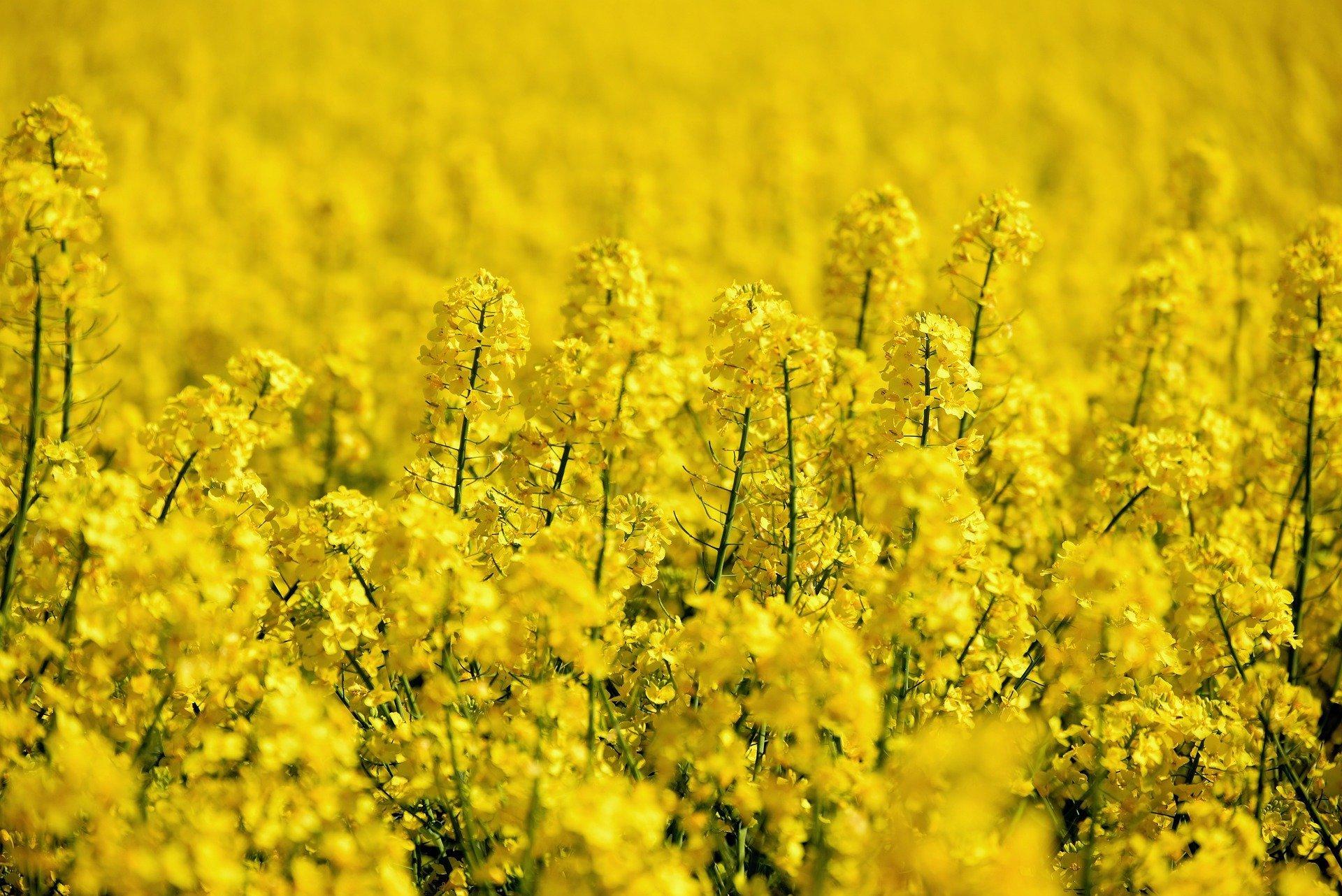 Fertilisation précise du colza au printemps